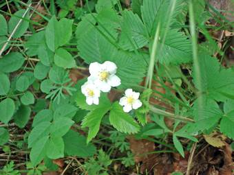 Wild strawberry (Fragaria verca)