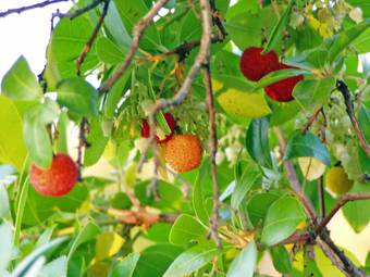 Arbutus, strawberry plant (Arbutus officinalis)